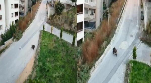 Bursa'da yaban domuzu şehre indi